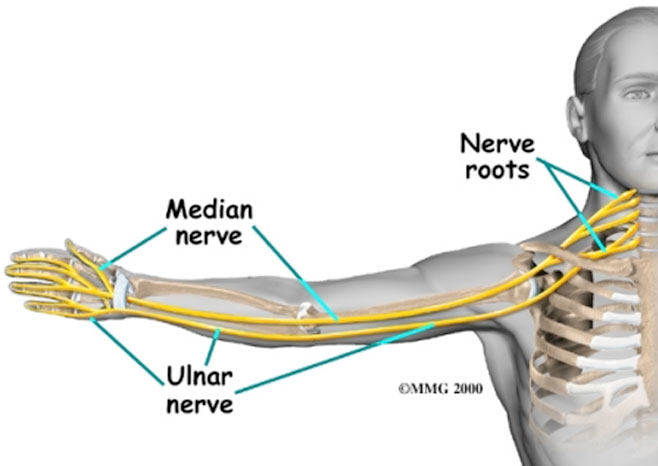 Median, Ulnar and Neck nerves