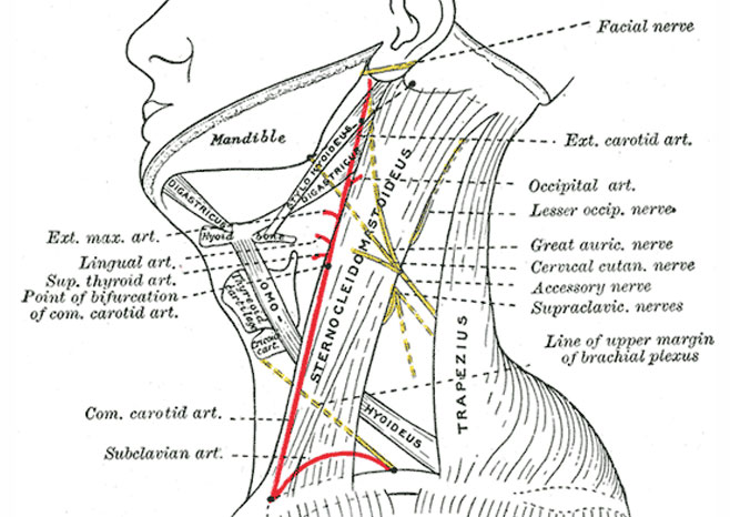 Anatmony of the Neck – Nerves and Arteries